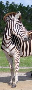 Punky Zebra Card
